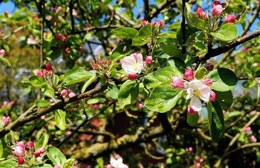 Apple Tree, Apple Blossom, Branch, Leaves, Bloom