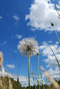 Dandelion, Weed, Flora, Blossom, Seed, Flying, Delicate