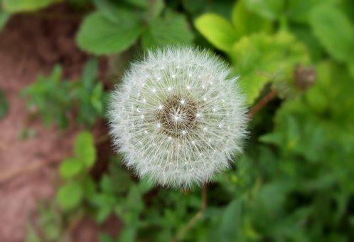 Dandelion, Plant, Nature, Spring, Seed, Blossom
