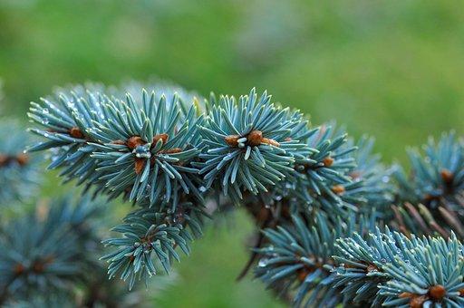 Dwarf Blue Fir, Fir, Conifer, Branch, Needles