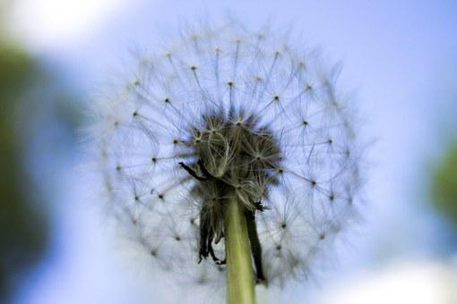 Close Up, Dandelion, Flower, Lint, Fluff, Fluffy, Stem