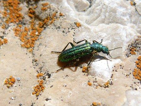 Psilothrix Cyaneus, Coleoptera, Green Beetle