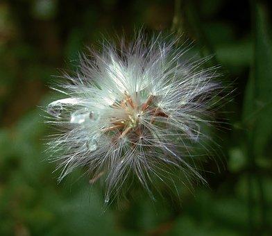 Flowers, Flower, Grass, Green, Weed, Dandelion, Furry