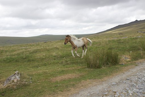 Dartmoor Pony, Spotted, Foal, Wild Horse, Baby Horse