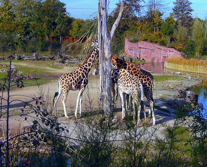 Zoo, Giraffes, Brown White, Giraffe, Group, Eat, Neck