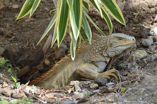 Iguana, Ponte, Eggs, Lizard, Wild Animals, Reptile