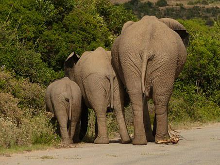 Elephant, Pachyderm, Safari, South Africa, Rear View