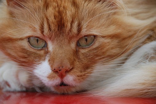 Cat, Ginger, Face, Stare, Kitten, Kitty, Felline, Pet