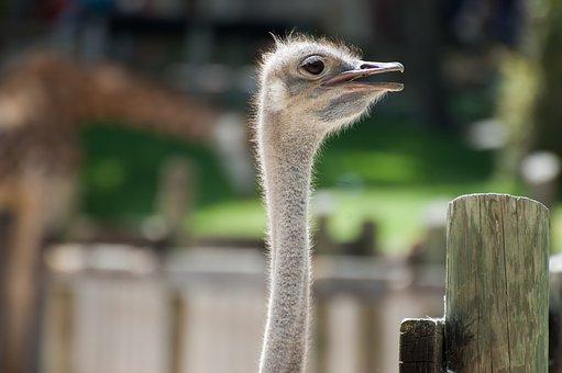 Ostrich, Animal, Animals, Fauna, Ostriches, Birds, Zoo