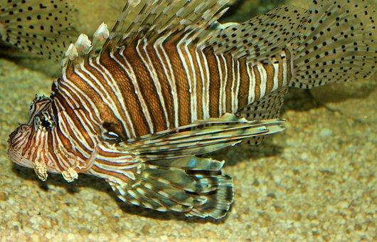 Lionfish, Fish, Poisonous, Sea, Marine, Underwater