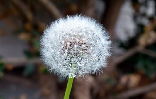 Nature, Plant, Dandelion, Clock, Bloom, Seed, Fluffy