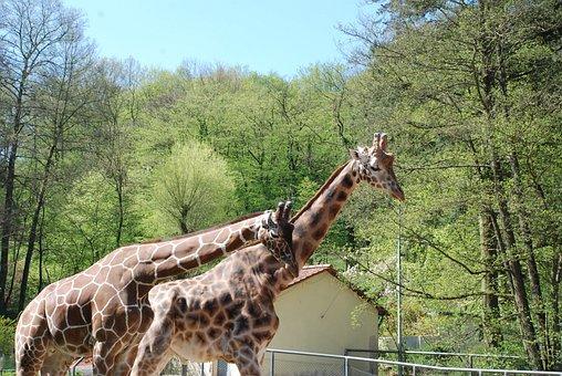 Zoo, Giraffes, Animal, Mammal, Neck, Africa