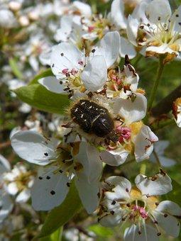 Oxythyrea Funesta, Coleoptera, Hairy Beetle