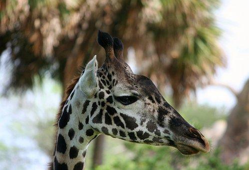 Giraffe, Reticulated, Long Neck, Somali Giraffe, Africa