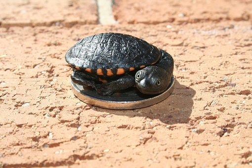 Australian, Long-neck Turtle, Sydney