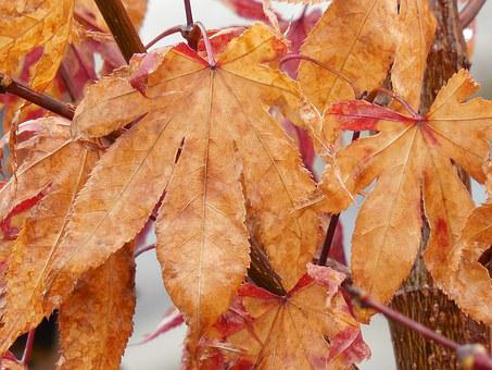 Autumn Leaves, Japanese Maple, Autumn, Japanese, Maple