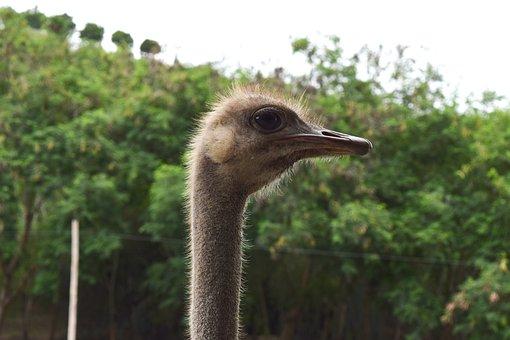 Ostrich, Neck, Eye, Peak, Pen, Zoo, Long Neck, Fauna