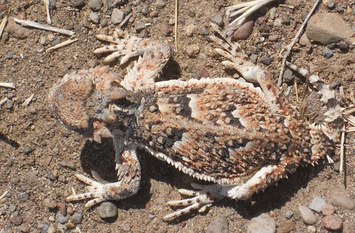 Horned Toad, Camouflage, Lizard, Phrynosoma