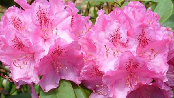 Rhododendron, Nature, Flowers, Joy, Color, Garden, Pink