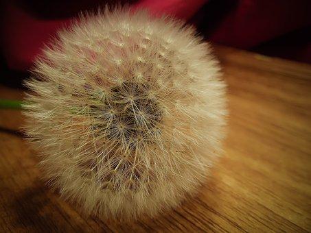 Dandelion, Seed, Taraxacum, Nature, Plant, Blossom