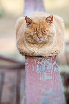 Cat, Sleeping, Animal, Resting, Pet, Railing, Deck