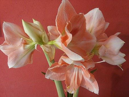 Flower, Amaryllis, Pink, White, Plant, Flora
