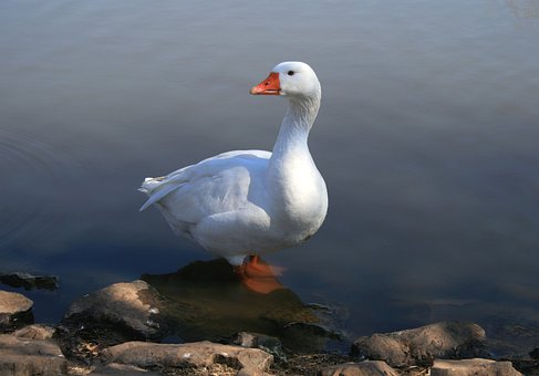 White Goose, Standing In Water, Pond, Fowl