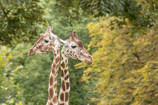 Giraffes, Neck, Giraffe Neck, Zoo, Animal, Nature