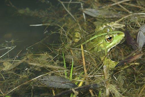 Frog, Gerardo, Amphibian