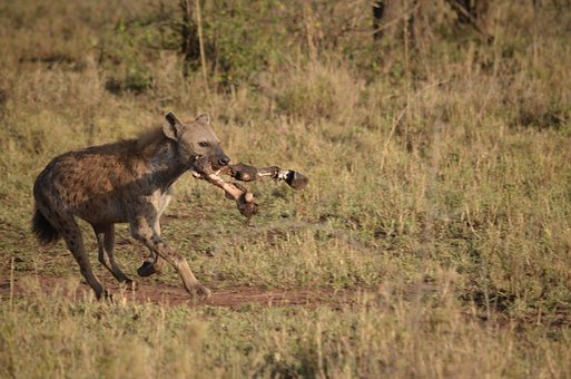 Hyena, Animal, Wild, Wildlife, Mammal, Carnivore