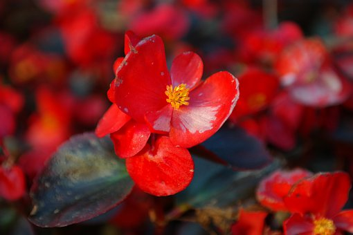 Ice Begonia, Flower, Blossom, Bloom, Red, Macro, Close