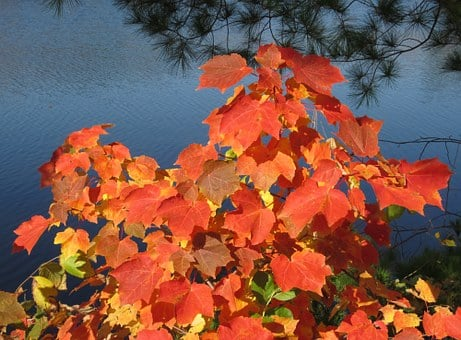 Nature, Leaves, Maple, Tree, Branch, Color, Red, Orange