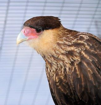 Caracara, Bird, Head, Bill, Portrait, Plumage