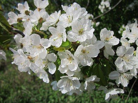 Prunus Cerasus, Cherry Tree, Sour Cherry, Tart Cherry