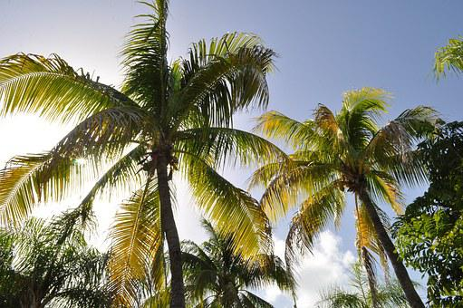 Coconut Trees, Beach, West Indies, Sea, Holiday, Travel