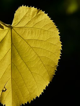 Yellow, Coloring, Fall Color, Lipovina, Leaves, Linde