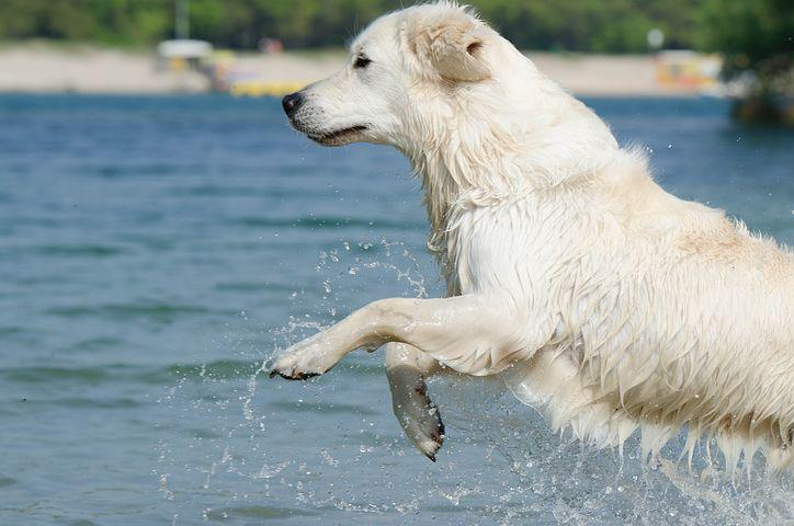 Golden Retriever, Jump Into The Water, Cooling, Water