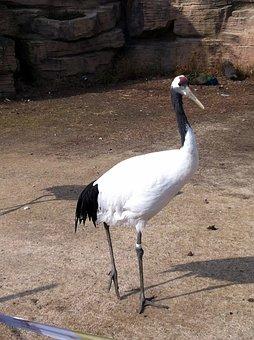 Crane, Bird, Water Birds, Feather, Sandhill Cranes