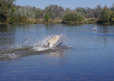 Dog, Lake, Fetch, Splash, Dive, Water, Pet