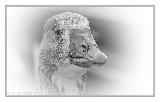 Goose, Geese, Birds, Animal, Domestic Goose, Farm, Head