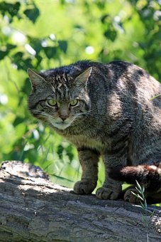 Cat, Scottish, Wild, Scottish Wild Cat, Animal, Feline