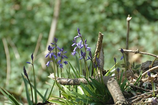 Blue, Flowers, Bluebell, Harebell, Wild, Blossoms
