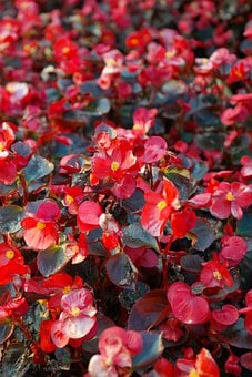 Ice Begonias, Flowers, Red, Flora