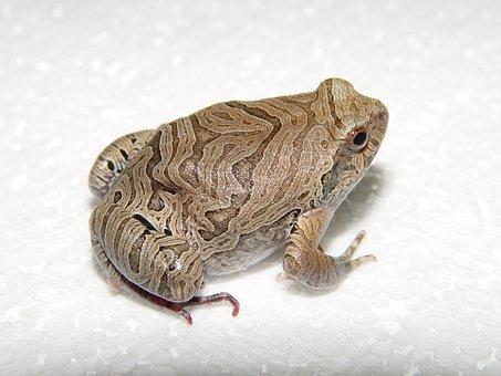 Amphibian, Frog, Physalaemus, Nattereri