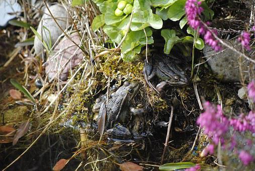 Frog Spring, Frogs In The Pond, Frogs