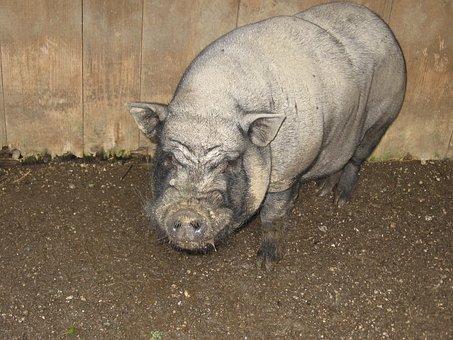 Pig, Animal, Farm, Nature, Happy Pig, Pigsty, Sow