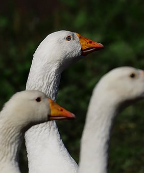 Geese, Birds, Head, Eye, Life, Domestic, White