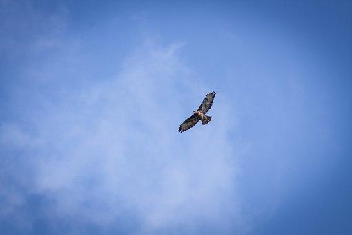 Hen Harrier, Bird, Sky, Skies, Nature, Animals, Fly