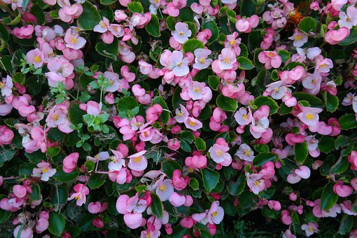 Ice Begonias, Flowers, Pink, Flora