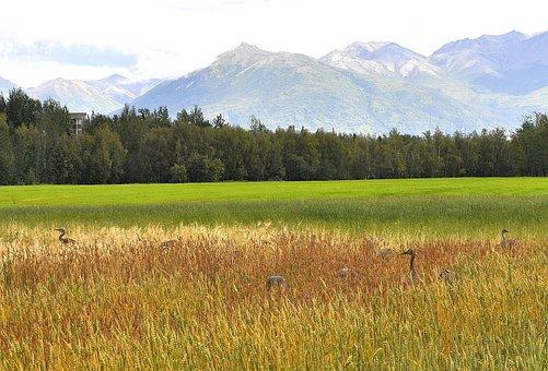 Sandhill, Cranes, Palmer, Alaska, Fields, Landscape